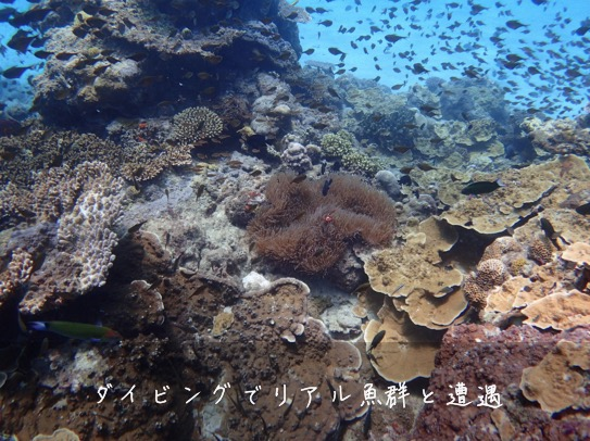 加計呂麻島ダイビング